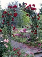 Rosenbogen mit Rosa ( Kletterrose )