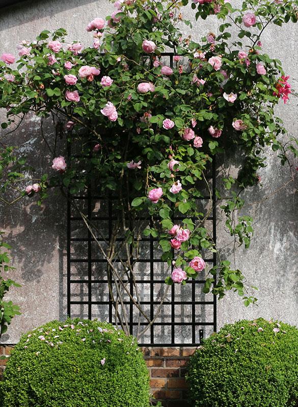 Schwarzers auf Wand hergestelltes Rankgitter bewachsen mit Rosa Rosen