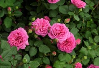 Chelsea Flower Show Rosa Rosen
