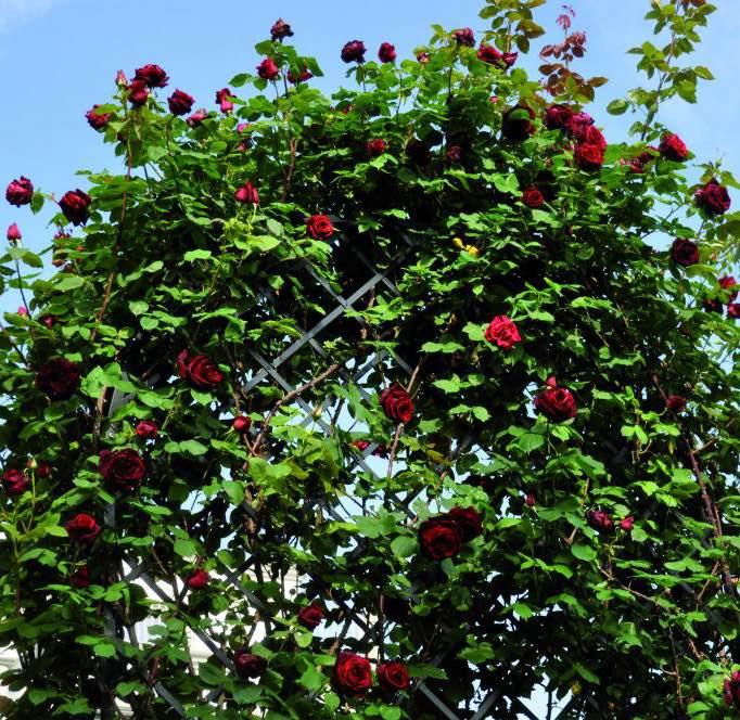 Bewachsene Romanische Rosenlaube Villandry aus Metall