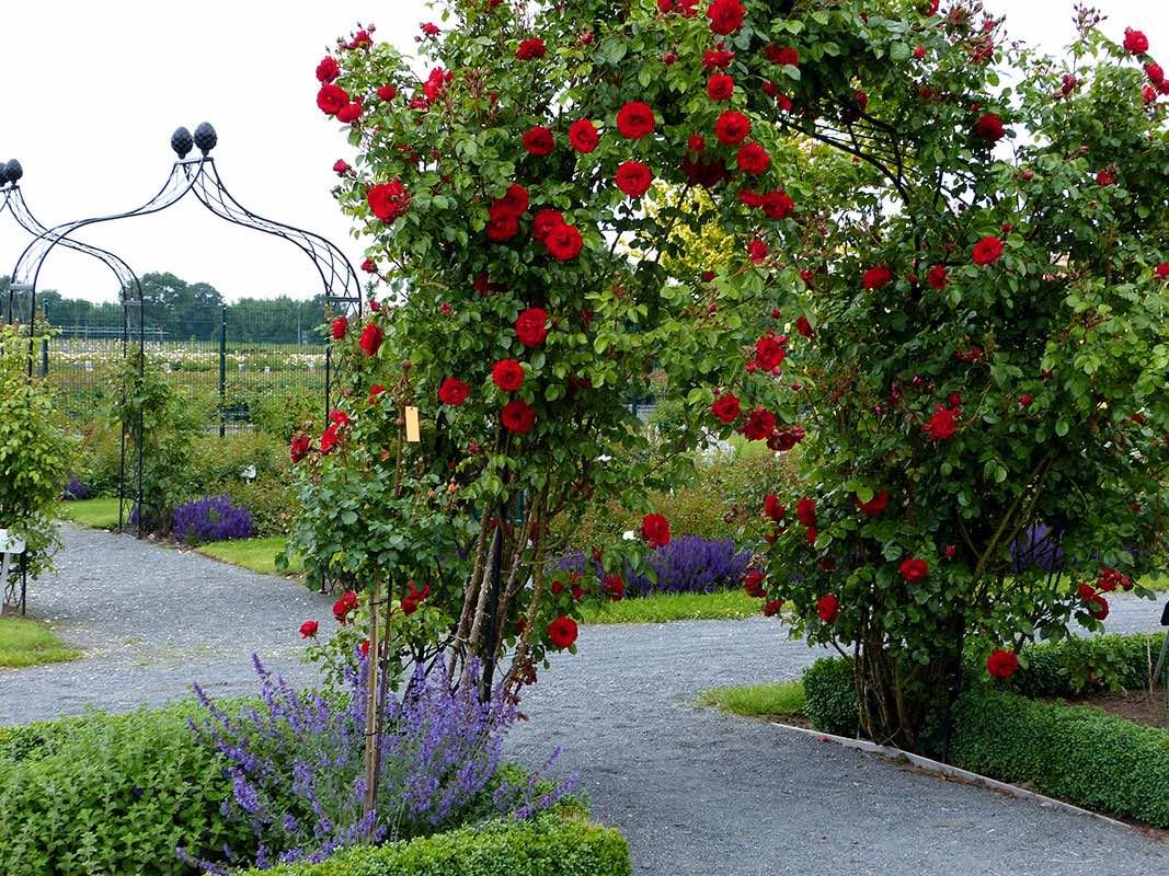 Drei sehr breite und sehr hohe Metall Rosenbögen