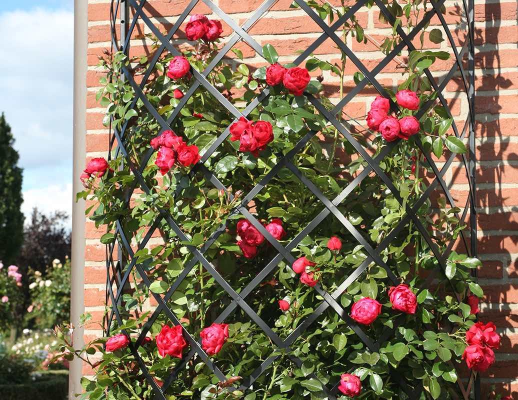 Halbrundes Rankgitter für Rosen bewachsen mit Rose Florentina