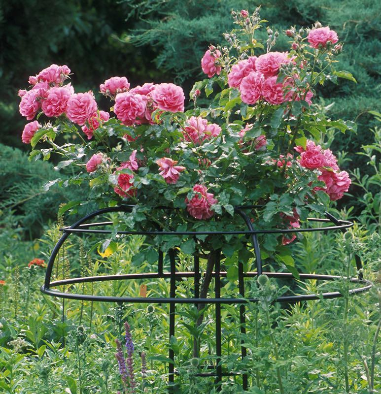 Metall Rosenschirm Schwarz mit Rosa Rosen 9