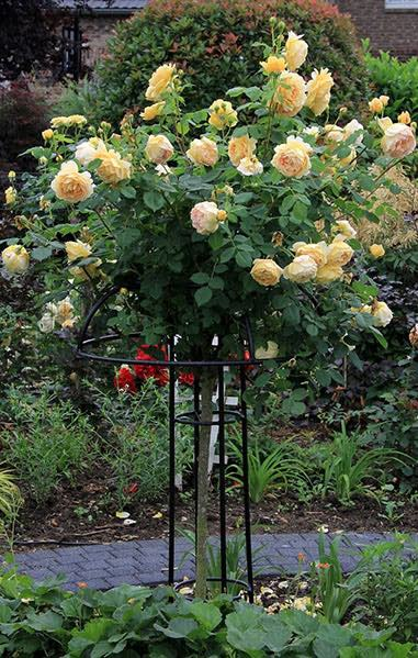 Rankhilfe-Rosenschirm-Giverny-mit-Rose-Golden-Celebration 1