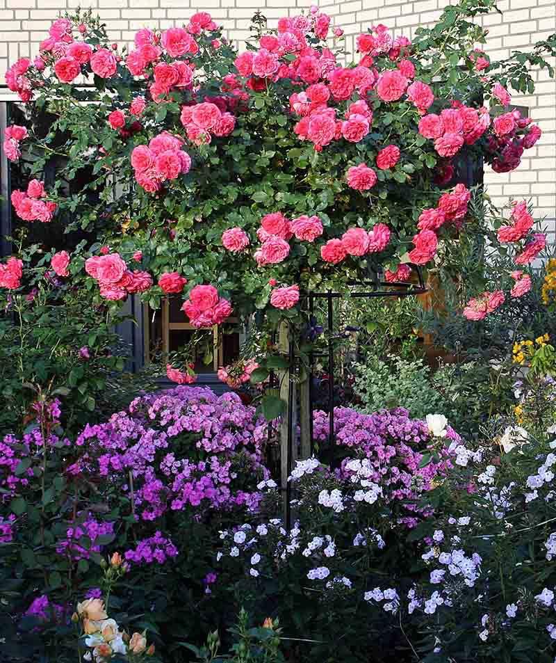 Rankhilfe-Rosenschirm-Giverny-mit-rosa-Kaskadenrose 2