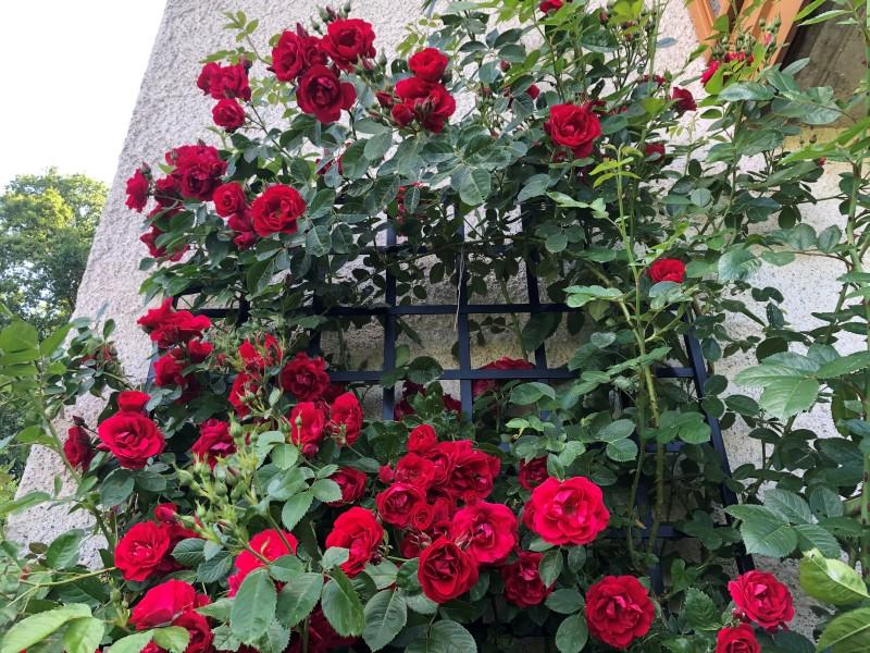 Rose 'Flammentanz' mit Rankgitter 'Wollaton'