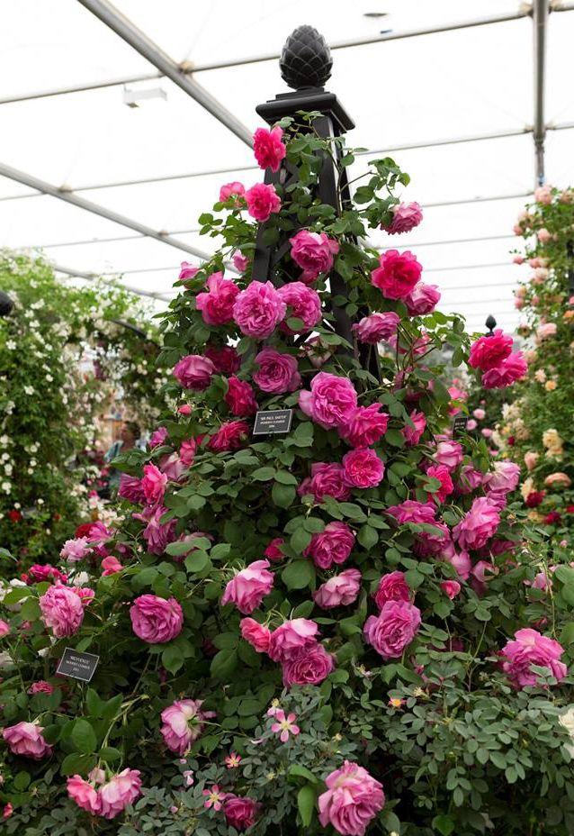 Rosenpyramide-Malmaison-auf-der-Chelsea-Flower-Show