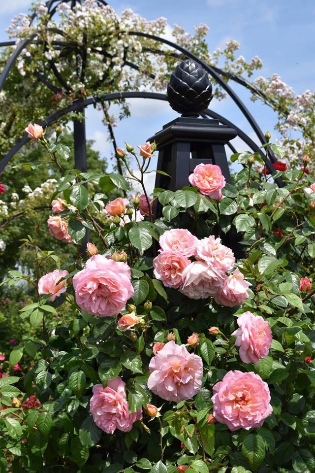 Rosenpyramide-Malmaison-im-Rosarium-Peter-Beales-Roses mit Pinienzapfen