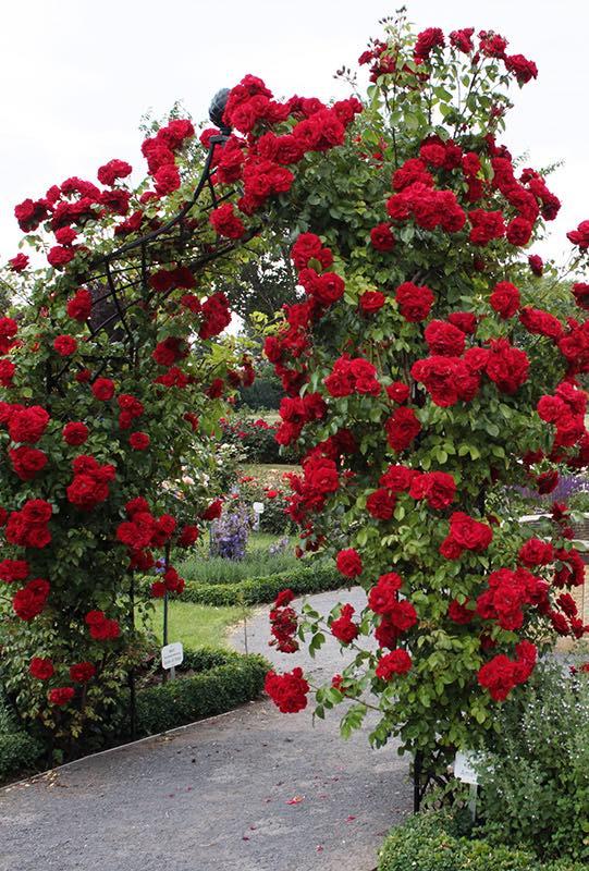 Schwarzer breiter Metall Rosenbogen bewachsen mit roten Rosen