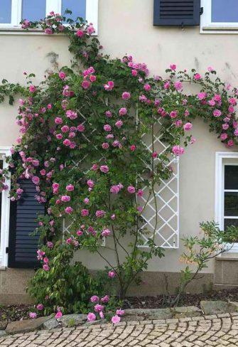 Zwei weiße Metall Rankgitter an Fassade bewachsen mit rosa Rosen
