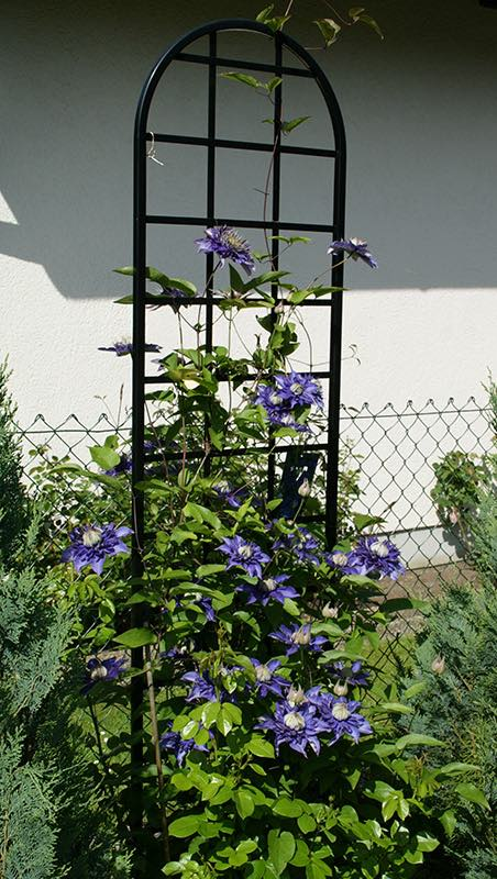 rankhilfe-burlington-mit-blauer-clematis 11