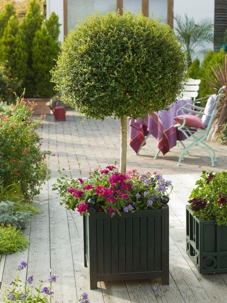 Ligustrum ( Ligusterstämmchen ) in Classic Garden Element