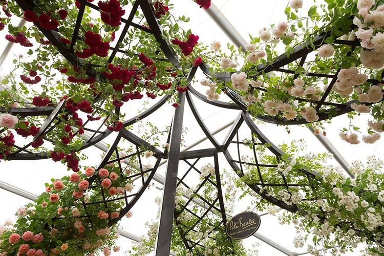 Rosen über Rosen am Herren Pavillon aus Metall