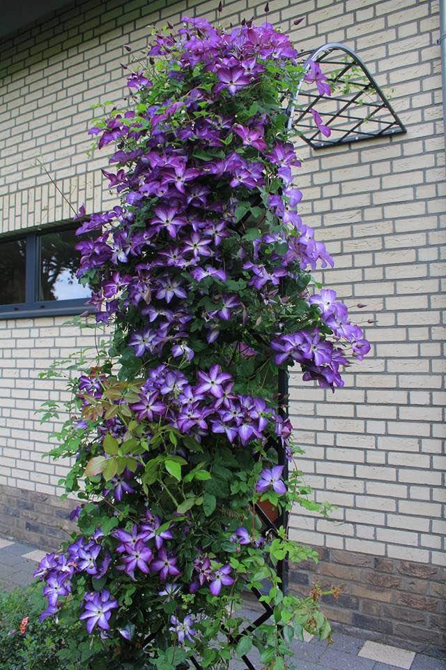Rosenhalbbogen Metall schwarz mit Blumen bewachsen an Haus