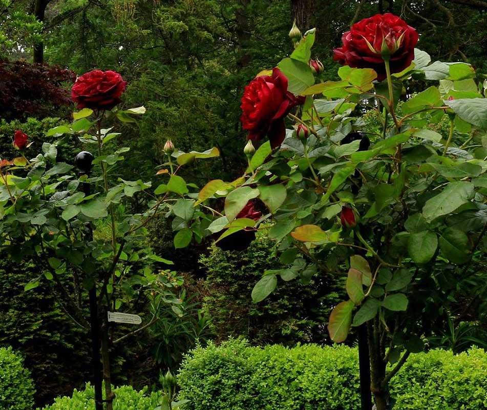Rosenstab für purpurfarbene Hochstammrose