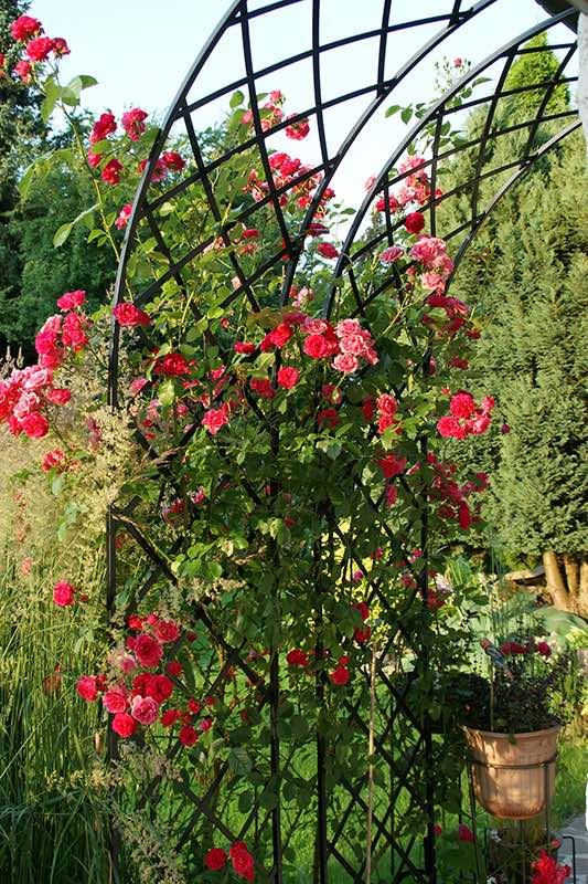 Zwei Rosenhalbbögen aus Metall am Haus bewachsen