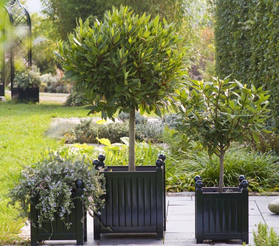 Zwei kleine und ein großer Versailler Pflanzkübel mit Lorbeer Hochstamm und Rosmarin bepflanzt
