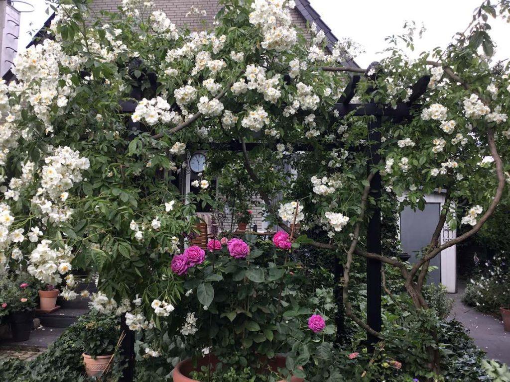 Schwarze Metall Pergola mit weißer Rambler Rose