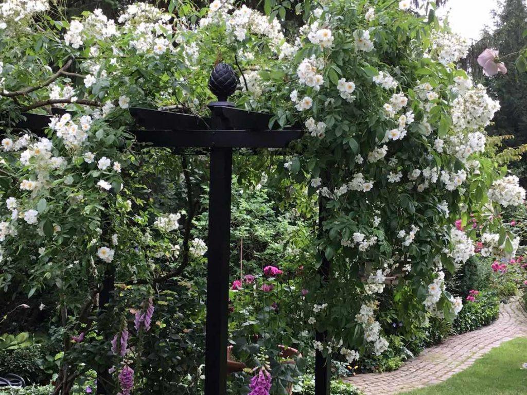 Hochdekorative Pergola aus Metall mit kräftig eingewachsener Rambler Rose