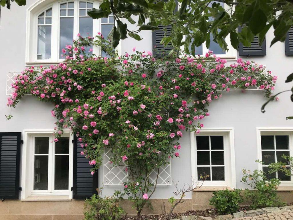 Insgesamt vier weiss lackierte stabile Metall Rankgitter stützen eine überreich blühende Ramblerrose in zartem Pink