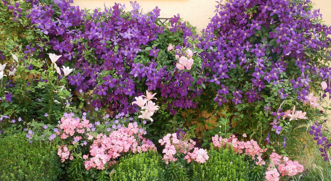 Blumenpracht an Rankgitter an Hauswand