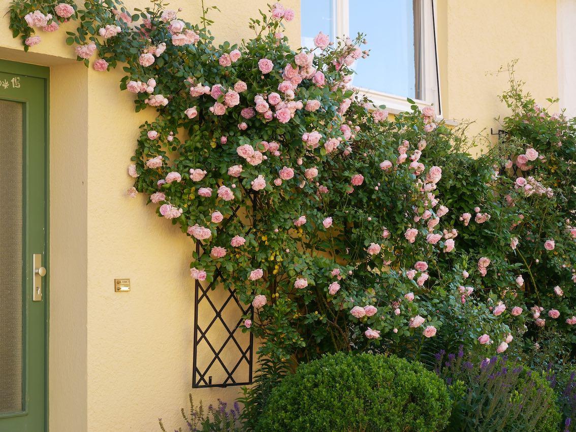 Rankgitter an Hauswand mit Rosa Rosen