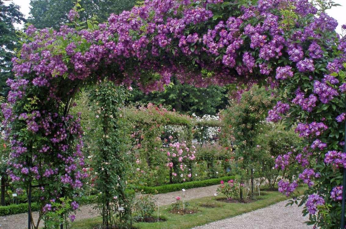 Rosenbogen mit lila Blumen sehr breit