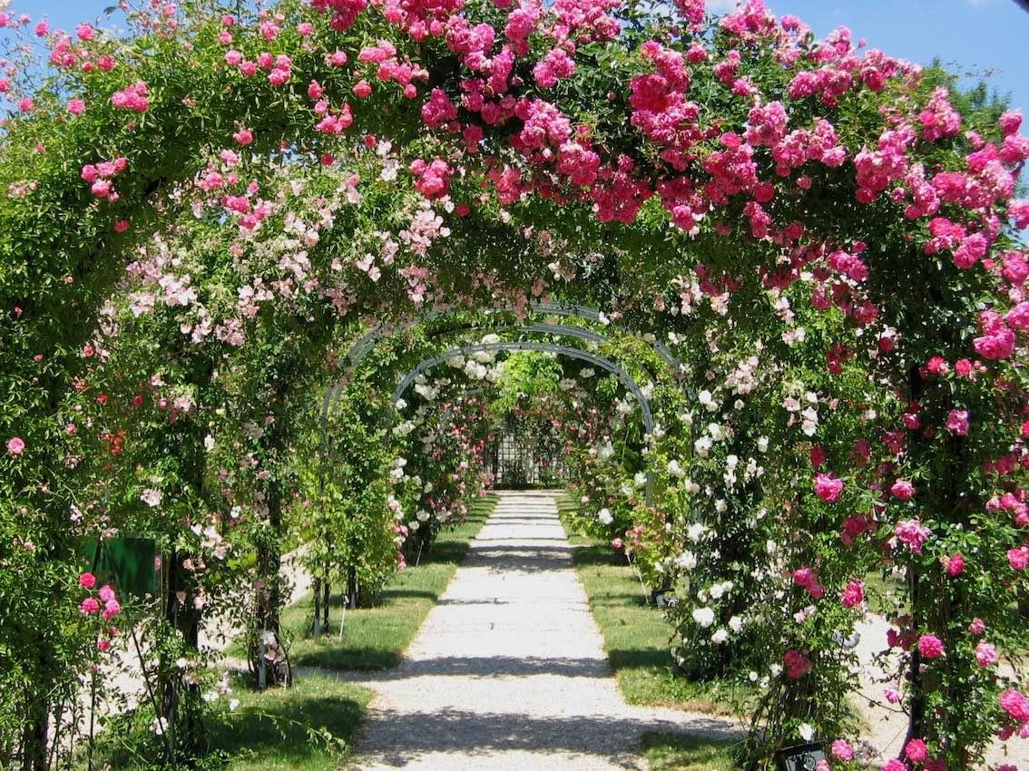Rosengang mit vielen Rosen