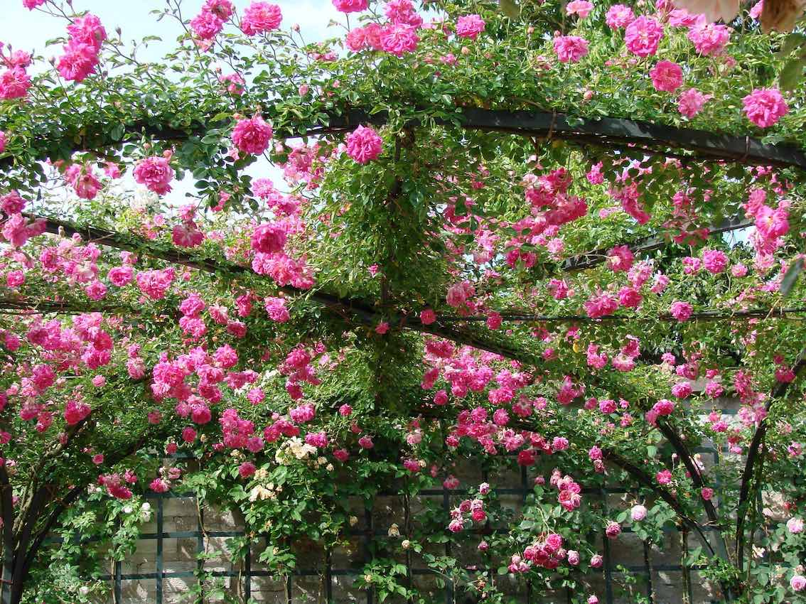 Rosenpalais mit rosa Rosen