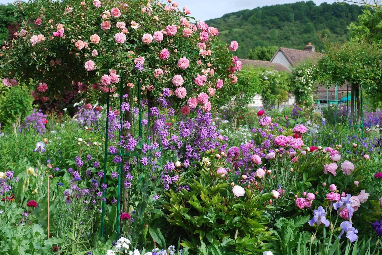 Prachtvolle Kaskadenrose in Giverny unterpflanzt mit Nachtviolen, Iris und Pfingstrosen