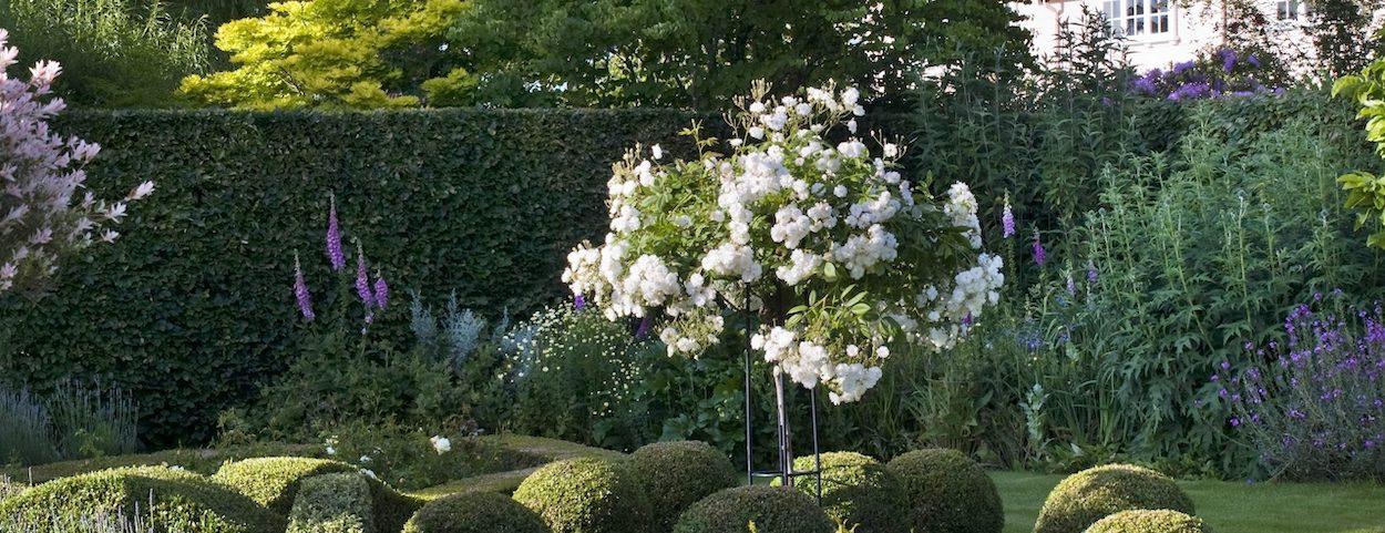 Prachtvolle weisse Kasakadenrose im Garten von The Lenches, Eckington, Worcester