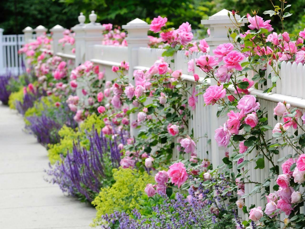 Der weiße Zaun mit Rosen, Katzenminze, Frauenmantel und Salbei