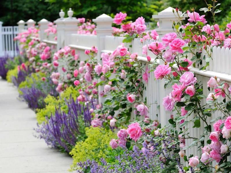 Der-weisse-Zaun-mit-Rosen-Katzenminze-Frauenmantel-und-Salbei